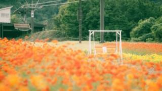キバナコスモスが絶好調のイオックスアローザ(富山県南砺市)でロケハンしてきました。