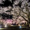 竹田の里しだれ桜ライトアップが美しかったです☆【福井県坂井市】