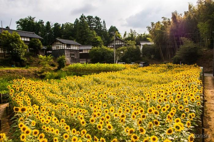 金沢・平栗地区のひまわり畑