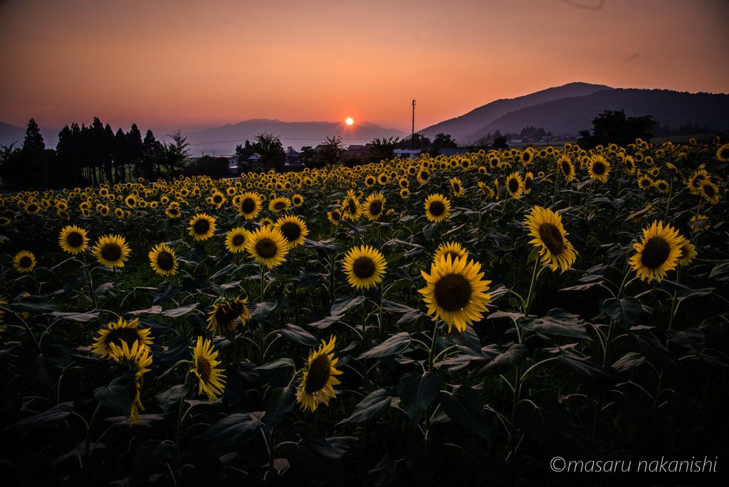 スターランドさかだにのひまわり畑と夕日