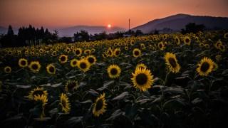 田園風景と夕日とのコラボが美しかった「スターランドさかだに(福井県大野市)」のひまわり畑☆