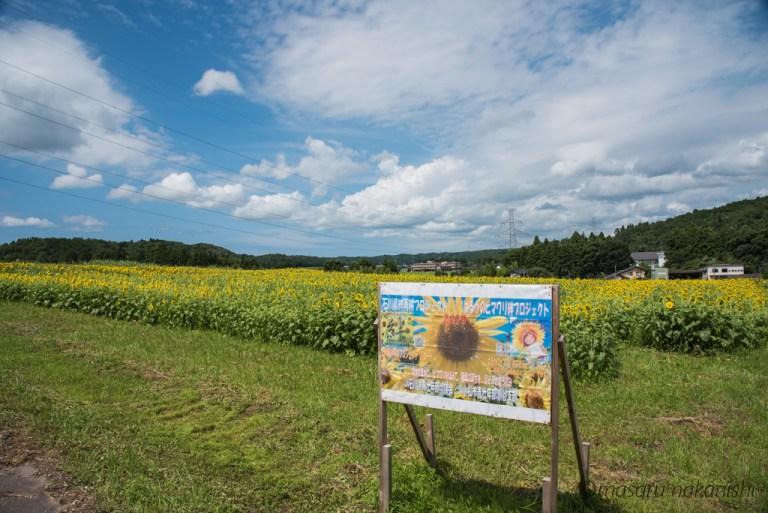 小松市瀬領地区のひまわり畑