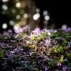 金沢市の平栗いこいの森でカタクリの群生が見ごろです。