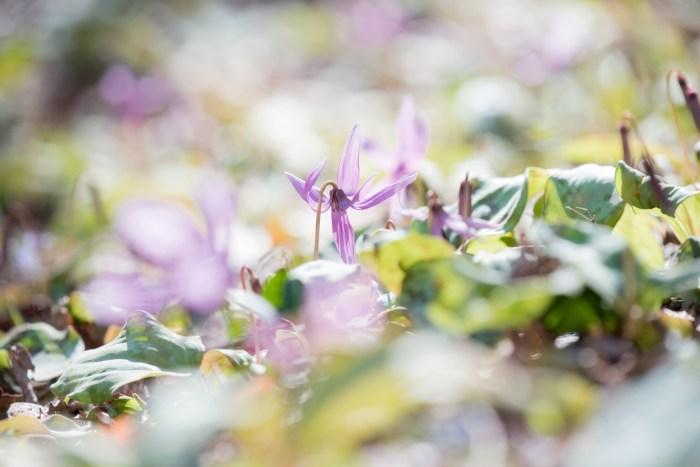 金沢市平栗のカタクリの花