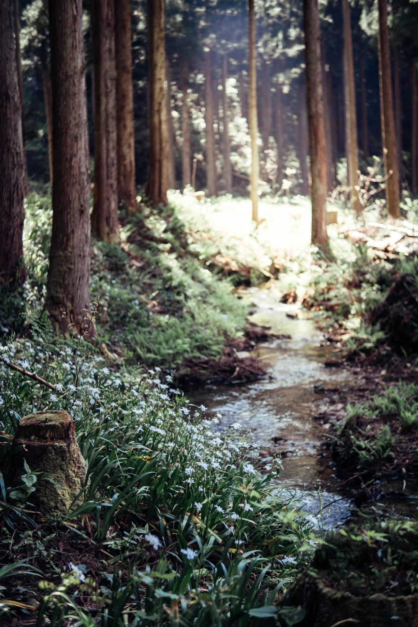 小松市遊泉寺鉱山跡のシャガの花