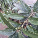マンゴーは何とか神奈川で栽培できそうです 41