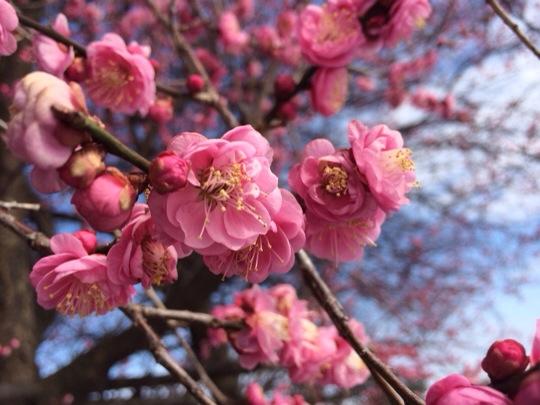 梅の開花 6