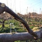 梨の捻枝の方法 40