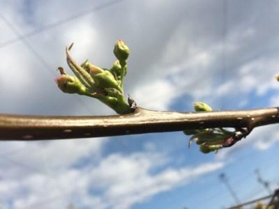 梨の摘蕾 35