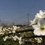 梨の花畑 40