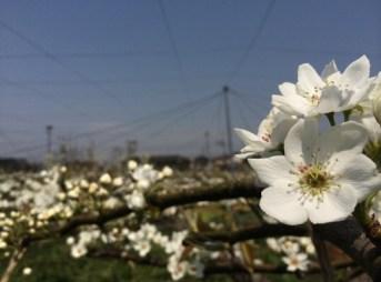 梨の花畑 183