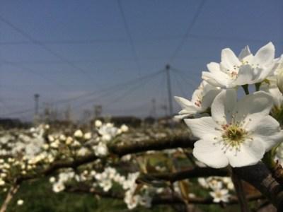 梨の花畑 6