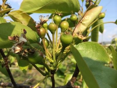 【動画で解説】梨の摘果のやりかた 34