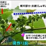 【ブドウの房作り~摘粒までの経過画像】あなたは知ってる?ブドウが出来るまで 42