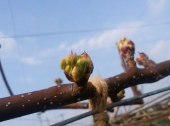 梨の黒星病対策