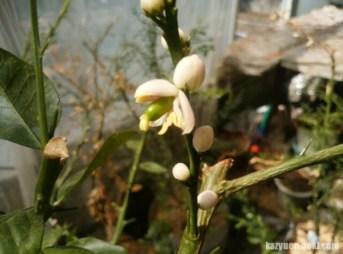 フィンガーライムの開花 168
