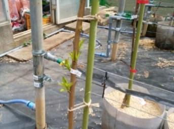 長い苗をつくる方法。イモムシ注意 108