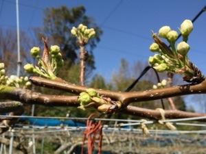 梨の摘蕾 34