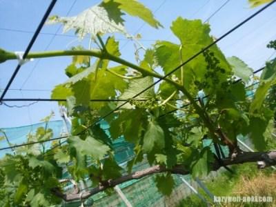 【ブドウの誘引・新梢管理】房作り前の誘引時に注意するポイント 5