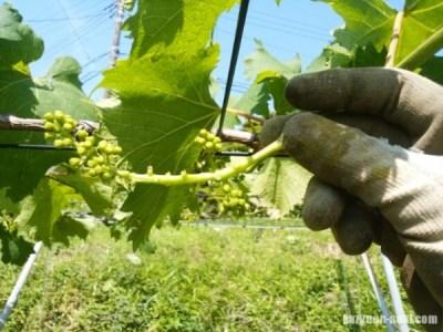 【ブドウの房作りを画像で解説】基本から奇形果の対応などの応用まで 4