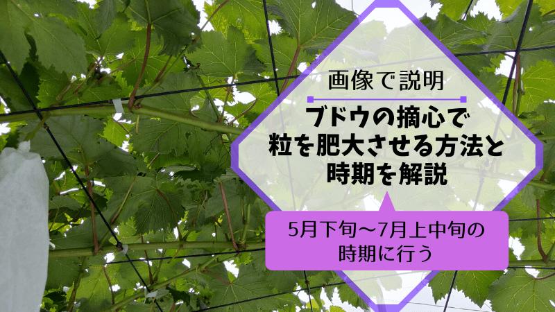 ブドウの摘心で粒を肥大させる方法と時期を解説【5月下旬~7月上中旬の時期に行う】 103