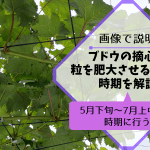 ブドウの摘心で粒を肥大させる方法と時期を解説【5月下旬~7月上中旬の時期に行う】 278