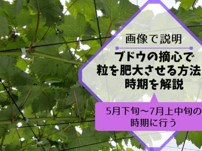 ブドウの摘心で粒を肥大させる方法と時期を解説【5月下旬~7月上中旬の時期に行う】 37