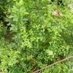 【フィンガーライムの害虫対策】梅雨はナメクジに注意しないと葉っぱが穴ぼこに。 43