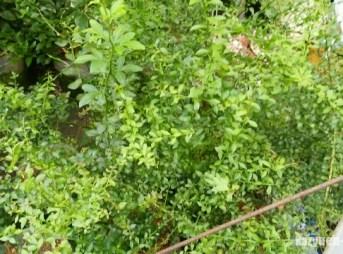 【フィンガーライムの害虫対策】梅雨はナメクジに注意しないと葉っぱが穴ぼこに。 193