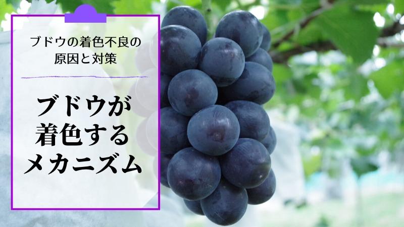 ブドウの着色不良の原因と対策を解説【ブドウが着色するメカニズム】 223