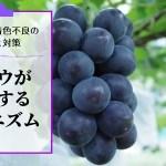 ブドウの着色不良の原因と対策を解説【ブドウが着色するメカニズム】 34