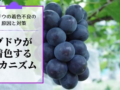 ブドウの着色不良の原因と対策を解説【ブドウが着色するメカニズム】 35