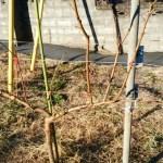 【桃のジョイントの剪定方法】太枝が出た時の対処法 6