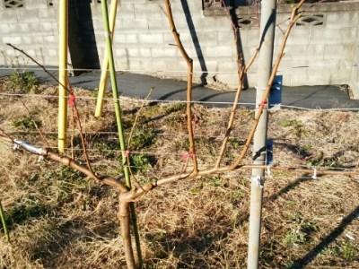 【桃のジョイントの剪定方法】太枝が出た時の対処法 40