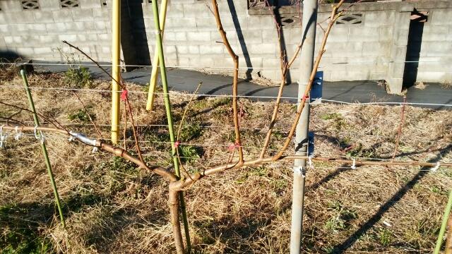 【桃のジョイントの剪定方法】太枝が出た時の対処法 46