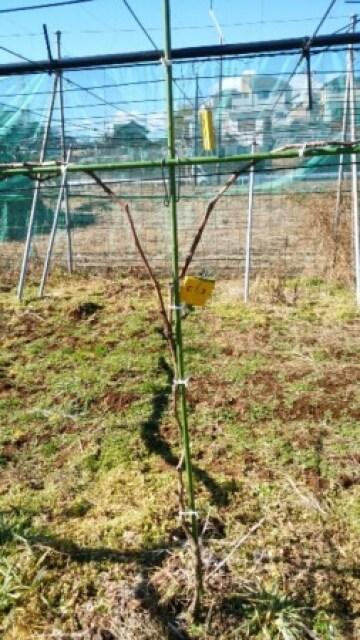 【ブドウ棚の作り方】短梢樹形の支柱設置に便利な道具 52