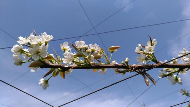 【梨の摘蕾する場所】JV栽培と二本主枝の違い 59