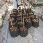 【苗木】購入した果樹苗をルートポットに植替えする方法とポイント 35