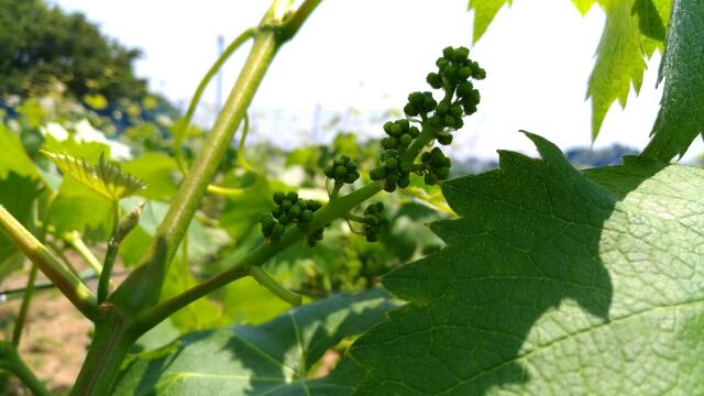 【ブドウの短梢剪定】冬の4芽目剪定で良い房ができました 49