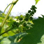 【ブドウの短梢剪定】冬の4芽目剪定で良い房ができました 11
