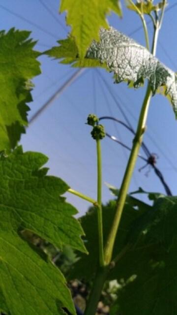 【ブドウの短梢剪定】冬の4芽目剪定で良い房ができました 53