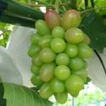 【ブドウの生育過程】房ができてから開花·摘粒の様子を画像で紹介 51