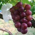 【ブドウの環状剥皮の30日後の結果】環状剥皮をしたブドウしてないブドウの着色を比較 27