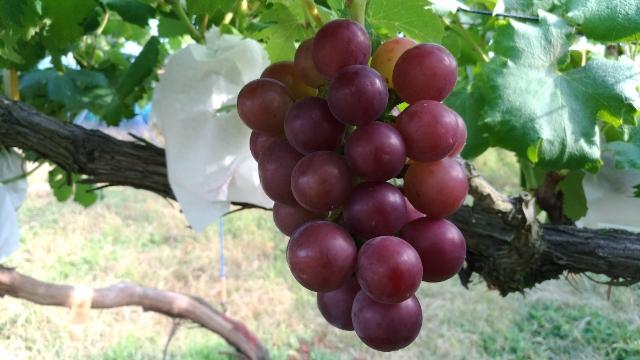 【ブドウの環状剥皮の30日後の結果】環状剥皮をしたブドウしてないブドウの着色を比較 37