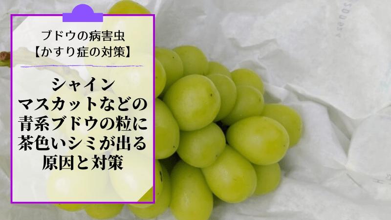 ブドウのかすり症対策【シャインマスカットの粒に茶色いシミが出る原因と対策】 31