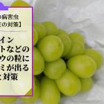 ブドウのかすり症対策【シャインマスカットの粒に茶色いシミが出る原因と対策】 60