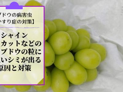 ブドウのかすり症対策【シャインマスカットの粒に茶色いシミが出る原因と対策】 33