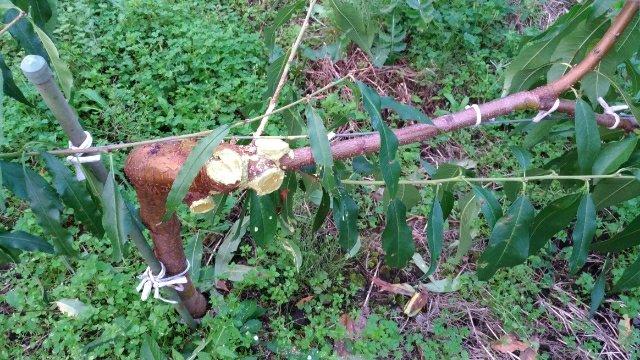 【ジョイント栽培】桃の側枝は太くなりやすいので注意!太らせない対策を紹介 45