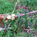 【ジョイント栽培】桃の側枝は太くなりやすいので注意!太らせない対策を紹介 18