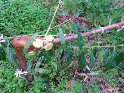 【ジョイント栽培】桃の側枝は太くなりやすいので注意!太らせない対策を紹介 4